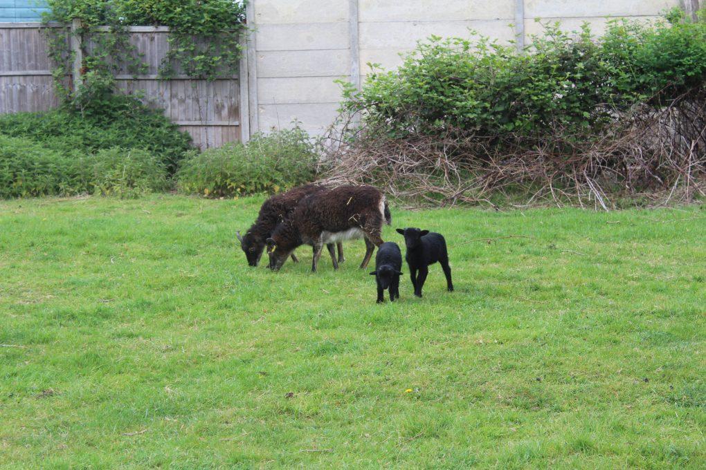 Lambs 046