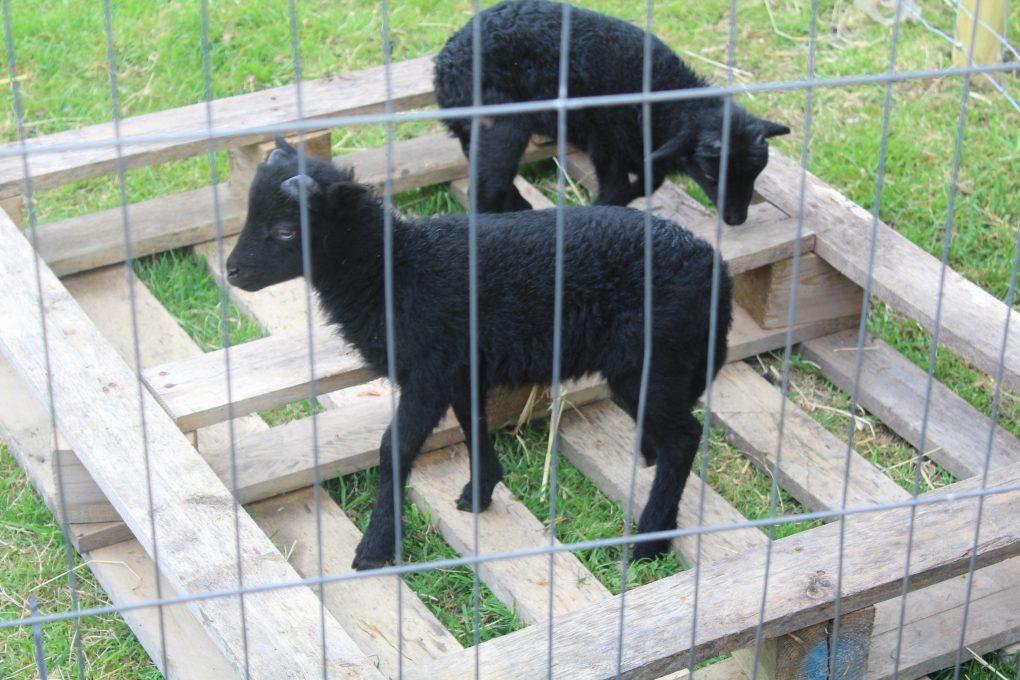 Lambs 051
